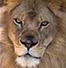 detail of a male lion's head